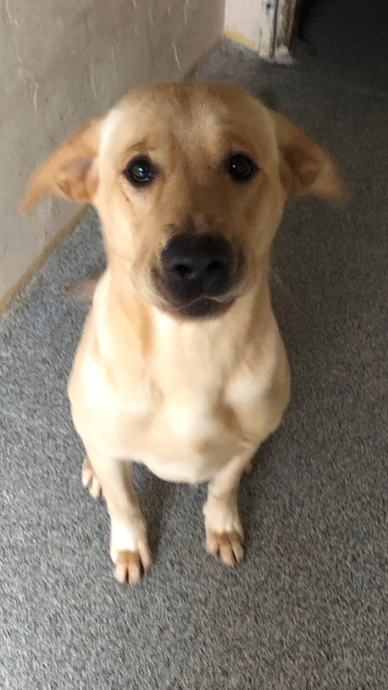 Rehome A Labrador The Labrador Lifeline Trust
